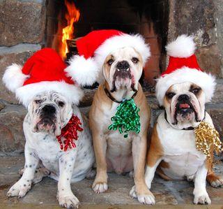 Festivedogs